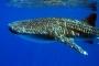 Nosy Be Madagascar Requin Baleine