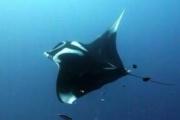Plongée Nosy Be Madagascar Raie Manta