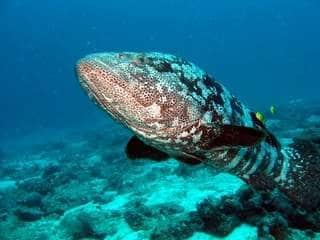 Grouper Nosy Be Madagascar