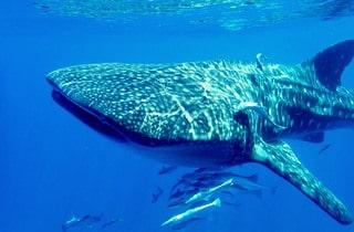 Diving Nosy Be Madagascar Whale shark