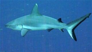Requin Gris à Nosy Be Madagascar
